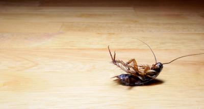 Pest Control Dead Cockroack On Wood Las Vegas NV