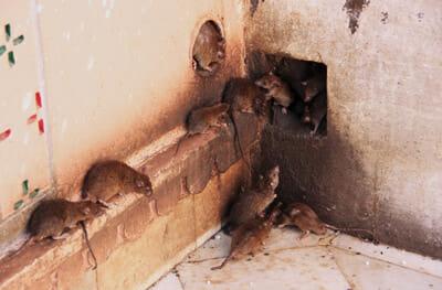 Rat Infestation Pest Control Las Vegas