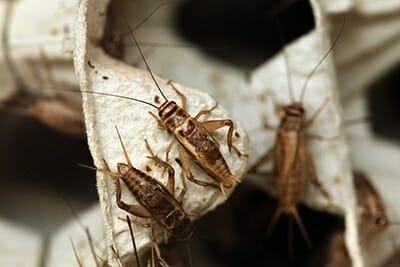 Cricket Removal Las Vegas NV