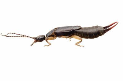 Earwig Exterminator Las Vegas NV