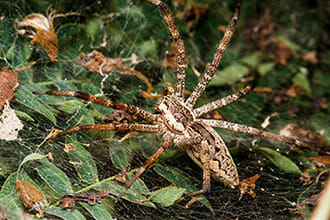 Spider Exterminator Wolf Spider Las Vegas NV