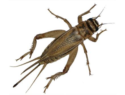 Very dangerowus big Scorpion